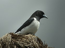 Great Woodswallow - Papua New Guinea (20137940046).jpg