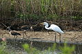 Great egret and ibis.JPG