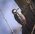 Great spotted woodpecker (51002792276).jpg