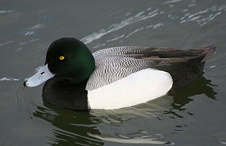 Diving duck - Greater scaup, Aythya marila