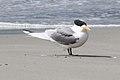 Greater Crested Tern (Thalasseus bergii) (8079598657).jpg