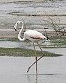 Greater Flamingo - Flickr - btrentler.jpg