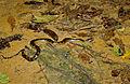 Green Anaconda (Eunectes murinus) juvenile (10643466876).jpg
