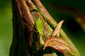 Green Aphid.jpg
