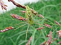 Green Lynx Spider (2898865162).jpg