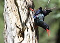 Green Wood Hoopoe, Phoeniculus purpureus, at Marakele National Park, Limpopo, South Africa (15720165494).jpg