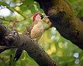 Green woodpecker (48053771863).jpg