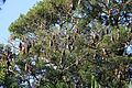 Grey-headed Flying-foxes - Flickr - GregTheBusker (1).jpg