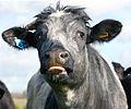 Grey cattle, Dedham, Essex, England.jpg