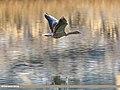 Greylag Goose (Anser anser) (41495889194).jpg