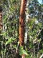 Gumbo Limbo (43865352462).jpg