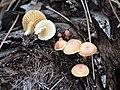 Gymnopilus palmicola Murrill 336637.jpg