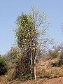 Gyrocarpus americanus02.jpg