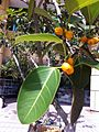 HKCL CWB tree 高山榕 Ficus altissima Oct-2013 007.JPG
