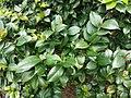 HKU 香港大學 PFL campus 薄扶林校園 green leaves April 2019 SSG 02.jpg