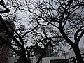 HKU Bonham Road University Drive carpark terrace tree crown Lee Chung Yin Road Jan-2016 DSC.JPG