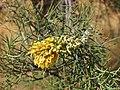 Hakea divaricata flower spike.jpg