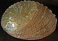 Haliotis fulgens (green abalone) (San Benito Island, Baja California, Mexico) 1 (23572255964).jpg