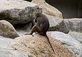 Hamadríade (Papio hamadryas), Tierpark Hellabrunn, Múnich, Alemania, 2012-06-17, DD 02.JPG