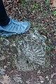 Hamilton pool ammonites.jpg