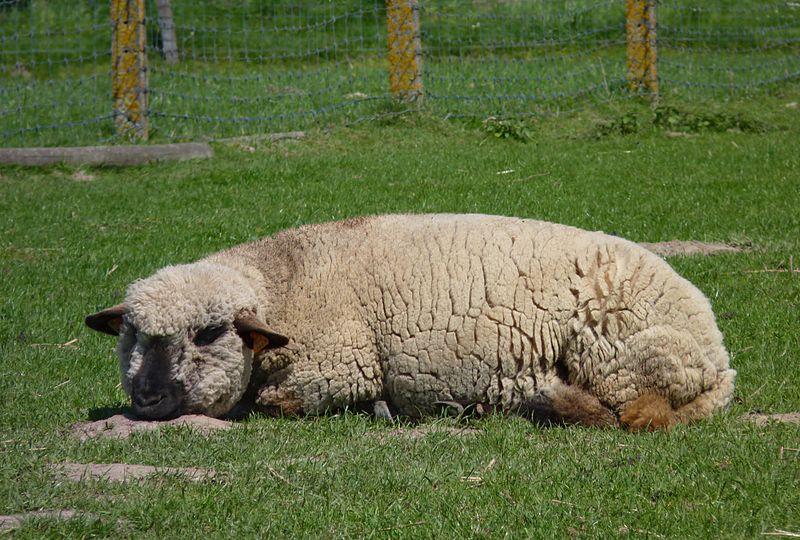 File:Hampshire Down sheep J4.jpg