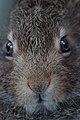 Hare in close up.jpg