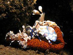 Hymenocera Picta Wikipedia La Enciclopedia Libre