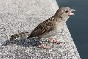 English: House Sparrow Deutsch: Haussperling S...