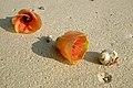 Havelock Island, Flowers on the beach, Andaman Islands.jpg