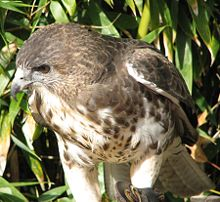 Hawaiian Hawk.jpg