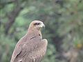 Hawk (Baaz )side shot.jpg