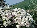 Hawthorn Bloom - panoramio.jpg