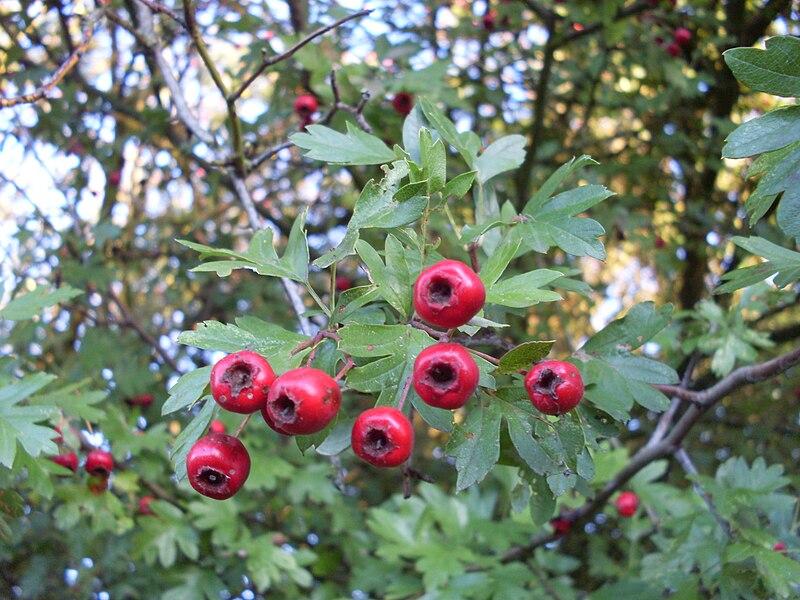 File:Hawthorn fruit.JPG