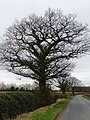 Hedgerow tree, alongside Stonyford Lane - geograph.org.uk - 1769844.jpg