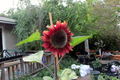 Helianthus annuus 'ProCut Red' sunflower.png