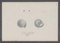 Helix cristallina - - Print - Iconographia Zoologica - Special Collections University of Amsterdam - UBAINV0274 089 01 0054.tif