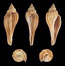Hemifusus elongatus 01.JPG
