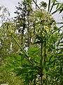 Heracleum mantegazzianum (19018695032).jpg