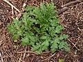 Heracleum mantegazzianum 117620382.jpg