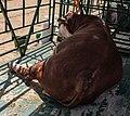 Hereford cattle (Belagro-2021).jpg