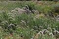 Hermbstaedtia argenteiformis -2420 - Flickr - Ragnhild & Neil Crawford.jpg
