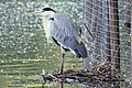 Heron - Stanborough Lakes (4718467326).jpg
