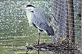 Heron - Stanborough Lakes (4718467326).jpg
