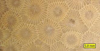 Petoskey stone - Image: Hexagonaria percarinata close view