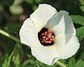 Hibiscus ludwigii.JPG