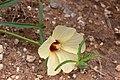 Hibiscus palmatus-2424 - Flickr - Ragnhild & Neil Crawford.jpg