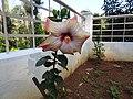 Hibiscus rosa sinensis hybrid-5-hanuman temple-muluvi-yercaud-salem-India.jpg