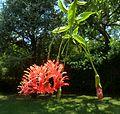 Hibiscus schizopetalus, blom, Manie van der Schijff BT, b.jpg