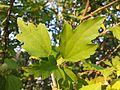 Hibiscus syriacus sl5.jpg