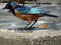 Hildebrandt's Starling in Tanzania 2974 cropped Nevit.jpg
